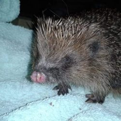 Hedgehog nose injury
