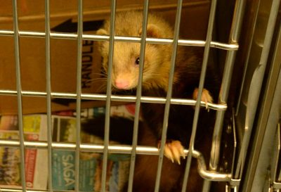 Ferret climbing inside a cage.