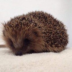 Hedgehog on a blanket.