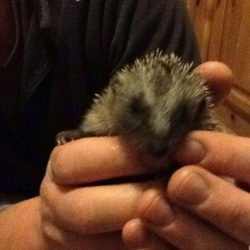 Hedgehog being held.