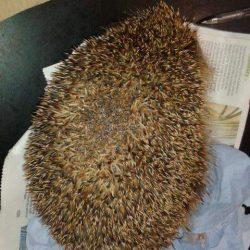 Hedgehog with damaged spines
