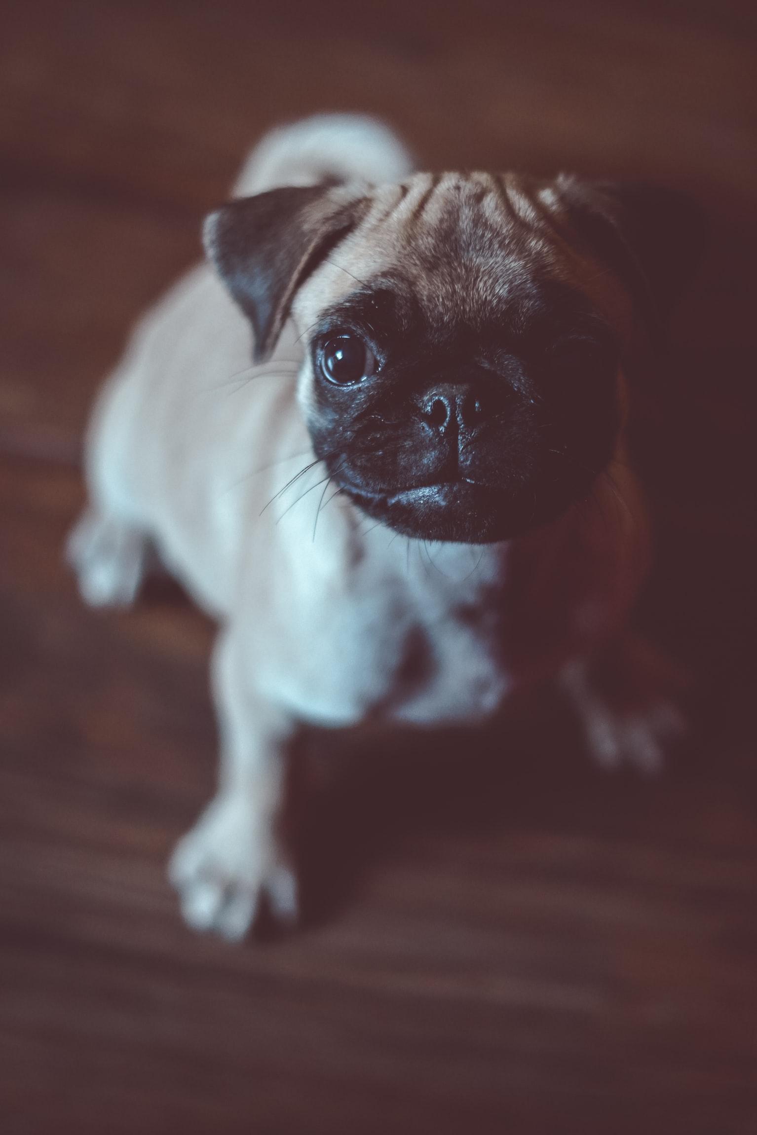 pug good nose